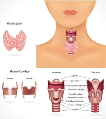 The thyroid glan